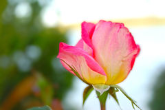 Härlig rosa färg- och gulingroscloseup Royaltyfri Fotografi