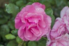Härlig rosa färgblomma 2 Royaltyfri Fotografi