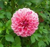 Härlig rosa färgblomma/botaniska trädgårdar Royaltyfria Foton