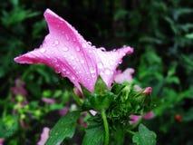Härlig rosa färgblomma efter sommarregn Royaltyfria Foton