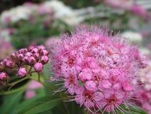 Härlig rosa färgblomma för azalea arkivfoton