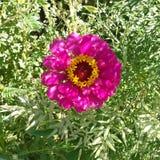 Härlig rosa färgblomma från trädgård Royaltyfri Fotografi