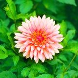 Härlig rosa färgblomma i en trädgård Fotografering för Bildbyråer