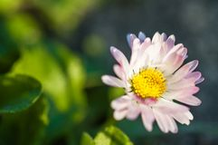 Härlig rosa färgblomma i trädgården Arkivbilder