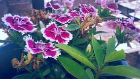 Härlig rosa färgblomma med den vita gränsen Arkivfoton
