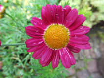 Härlig rosa färgblomma med droppar Arkivbild