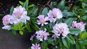 Härlig rosa färgblomma, rhododendron, azalea Slutet av rhododendron blommar upp på busken under solen Blom- naturlig bakgrund Mån Royaltyfria Foton