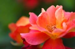 Härlig rosa färggulingros i trädgården royaltyfri fotografi