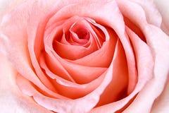 Härlig rosa färgros Arkivbilder