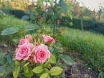 Härlig rosa färgros Royaltyfria Bilder