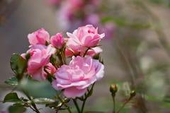 Härlig rosa färgros i en trädgård i slut upp Arkivfoto