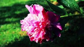 Härlig rosa färgros i trädgården lager videofilmer