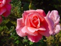 Härlig rosa färgros i trädgården Fotografering för Bildbyråer