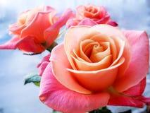 Härlig rosa färgros på klar bakgrund Kapaciteten att behaga skönheten royaltyfri bild