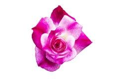 Härlig rosa färgros som isoleras på vit bakgrund, mjuk fokus arkivfoto