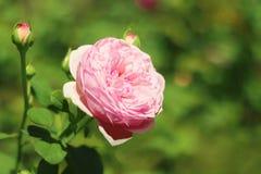 Härlig rosa färgrosblomma som blommar i trädgården royaltyfri foto