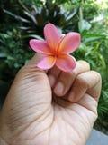 Härlig rosa frangiprani i hand royaltyfria bilder