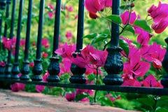 Härlig rosa fuchsiabougainvillea mellan en svart smidesjärnräcke Arkivfoton
