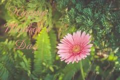 Härlig rosa gerbera med grön suddig bakgrund arkivfoton