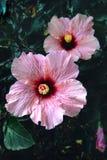 Härlig rosa hibiskus Rosa Flowers Arkivfoto