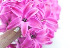 Härlig rosa hyacint Arkivbilder