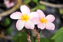 Härlig rosa inflorescence Royaltyfria Foton