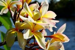 Härlig rosa inflorescence Royaltyfri Fotografi