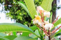Härlig rosa inflorescence Royaltyfri Foto