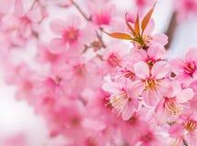 Härlig rosa körsbärsröd blomning Royaltyfria Foton