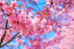 Härlig rosa körsbärsröd blomning i vår arkivfoton