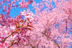 Härlig rosa körsbärsröd blomning i vår royaltyfria bilder