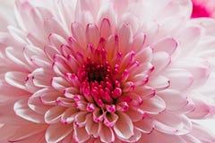 Härlig rosa krysantemum Arkivfoton