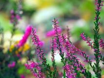 Härlig rosa ljung i blomning Royaltyfri Bild