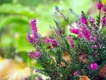 Härlig rosa ljung i blomning Royaltyfri Fotografi
