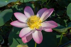 Härlig rosa Lotus blomma, lat Nelumbolucifera Arkivfoto