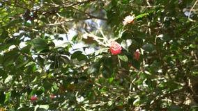 Härlig rosa magnoliablomma i vinden i trädgården Sun ljus 4k ultrarapid lager videofilmer