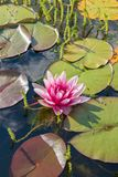 Härlig rosa näckros Royaltyfri Foto