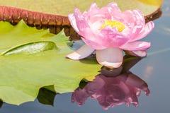 Härlig rosa näckros- eller lotusblommablomma Royaltyfri Foto