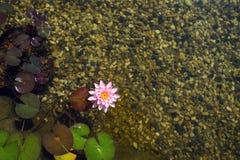 Härlig rosa näckrosblom, naturlig simbassäng, avkopplingmeditation Royaltyfri Fotografi