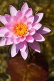Härlig rosa näckrosblom, naturlig simbassäng, avkopplingmeditation Royaltyfria Foton
