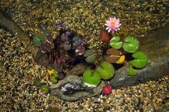 Härlig rosa näckrosblom, naturlig simbassäng, avkopplingmeditation Royaltyfri Bild