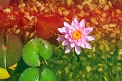 Härlig rosa näckrosblom, naturlig simbassäng, avkopplingmeditation Fotografering för Bildbyråer
