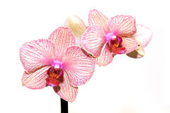Härlig rosa och vit orchid Arkivbilder