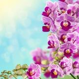 Härlig rosa orkidé. Arkivbild