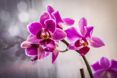 Härlig rosa orkidé i fönster med mjuk slät bakgrund Arkivbilder