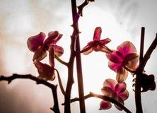 Härlig rosa orkidé i fönster med mjuk slät bakgrund Royaltyfri Bild