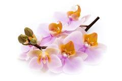 Härlig rosa orkidé på den vita bakgrunden Arkivfoto