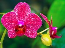 Härlig rosa orkidé vanda Arkivfoton
