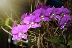 Härlig rosa orkidéblomma med grön blom- bakgrund Fantastiska rosa orkidér med utrymme för text Royaltyfri Foto