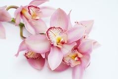 Härlig rosa orkidéblomma på vit bakgrund Slut för rosa färgblommafilial upp Arkivbild